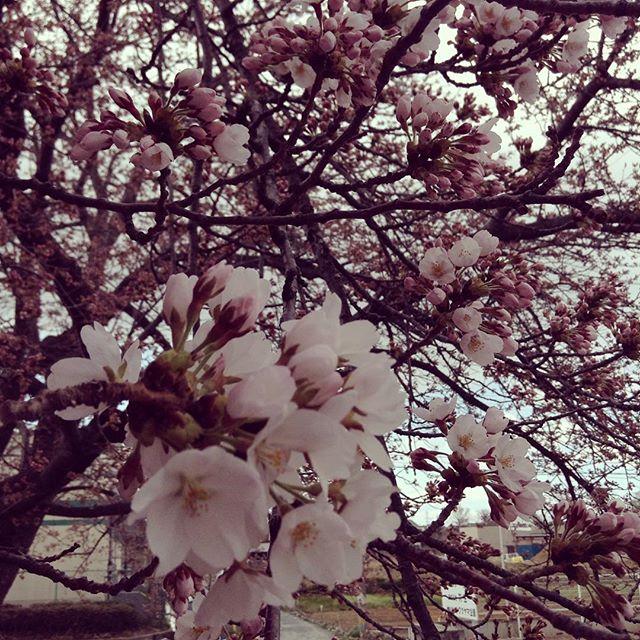 小田原屋の桜が咲きはじめました。今週末はどこでも見頃を迎えるそうですね。お花見の後はぜひアンデコへ。#咲きはじめ#桜 #アンデコ#レストラン#ランチ#fukushima#kooriyama #undeco#小田原屋漬物店#小田原屋#お漬物バイキング#漬物#お漬物#つけもの#おつけもの#和食#japanesetraditionalfood#otsukemono#food#japanese#baiking#japanesefood#tsukemono#japanfood#foodgasm